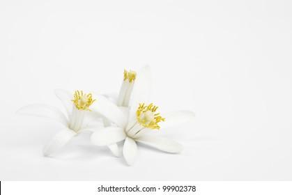Exotic 3 flowers of lemon on light gray background