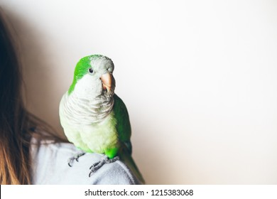 Exotic animals. Monk parakeet is looking at camera with curiosity expression. Quaker parrot is sitting on woman's shoulder at home. Copy space area on the right side