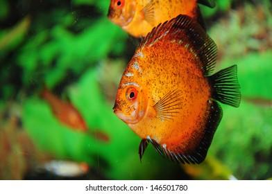 Exotic aquarium fish discus