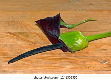 exotic beautiful flower black calla lying on a wooden table, a long dark pistil associated with the phallus