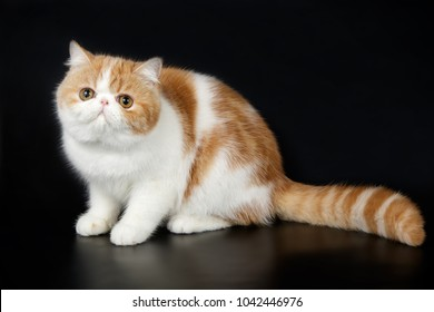 exotic bicolor white and red cat