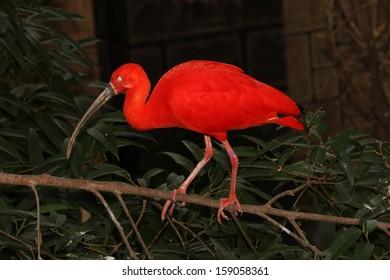 An Exotic Bird Scarlet Ibis with Nictitating Membrane Showing (Eudocimus Ruber)