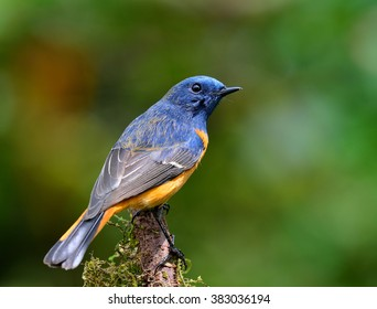 Exotic blue bird, Blue-fronted redstart (Phoenicurus frontalis) the colorful blue bird with orange belly standing on top of the mossy branch with far blur green background