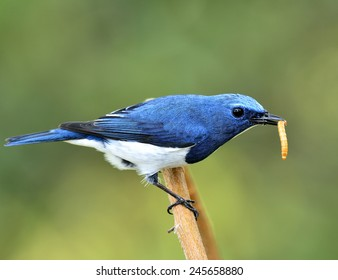 Exotic blue bird, Close up of ultramarine flycatcher carrying worm on the curve branch with nice blur green background