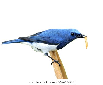 Exotic blue bird, Close up of ultramarine flycatcher carrying worm in his bills isolated on white background