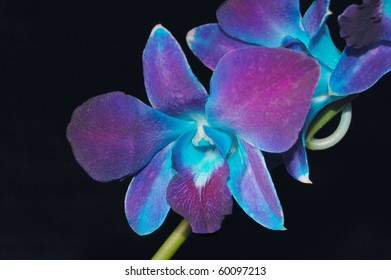 Exotic Blue Malaysian Orchid on Black
