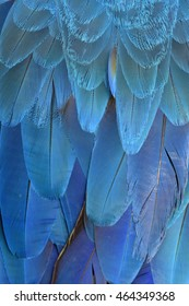 Exotic bluel background of bird feathers, the fascinatged Blue and Gold Macaw bird's wing texture