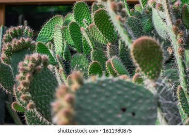 Exotic cactus thickets in the home garden