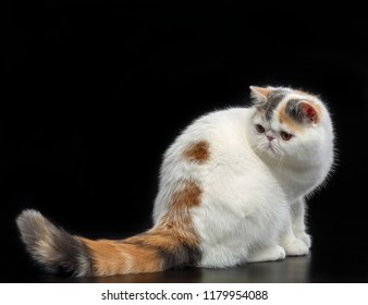 Exotic cat isolated on Black Background in studio
