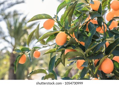 Exotic colorful kumquat or cumquat trees. Closeup fruits with leaves.