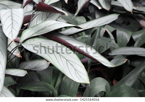 Exotic Ctenanthe Setosa Grey Star Plant Stock Photo (Edit ... on perennial silver foliage plants, silver grey and yellow wedding bouquet, silver weeping pear tree, white hosta plants, grey leaf plants, grey garden plants, white leaf plants,