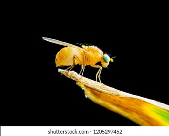 Exotic Drosophila Fruit Fly Diptera Insect on Plant Isolated on Black Background