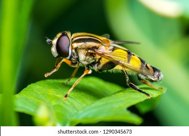 Exotic Drosophila Fruit Fly Hoverfly Diptera Parasite Insect on Plant Leaf