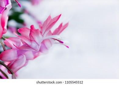 Exotic Flower of May , Christmas cactus - Schlumbergera truncata