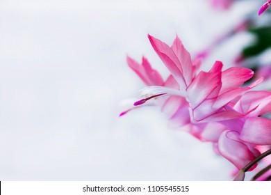 Exotic Flower of May , Christmas cactus - Schlumbergera truncata - card