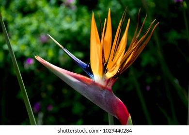 Exotic Flower in Orange, Blue and Pink in Front of Green Forest