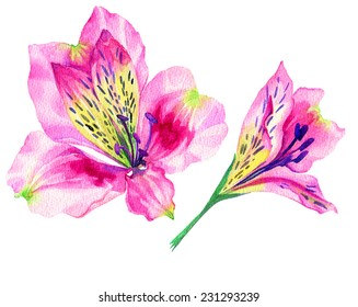 exotic flowers isolated on white, alstroemeria illustration in watercolor