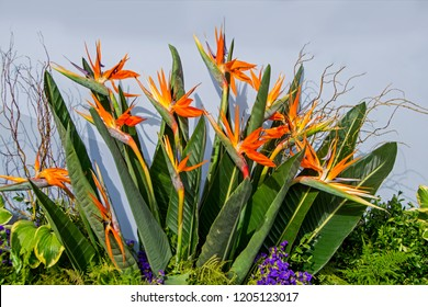 Exotic flowers Strelizia Reginae or Bird of Paradise growing in tropical garden. Beautiful large background for wallpaper or web design