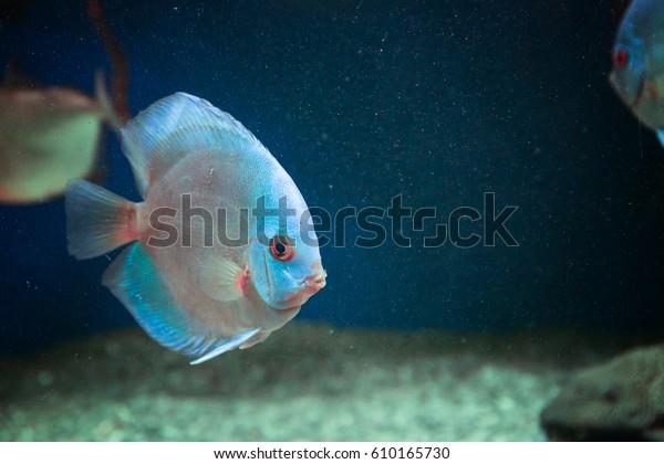 Exotic Freshwater Fish Aquarium Stock Photo (Edit Now) 610165730
