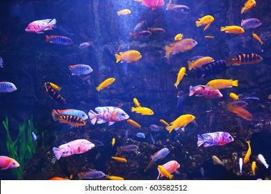 Exotic freshwater fishes in aquarium