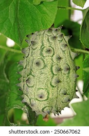 Exotic  fruit Cucumis metulifer in a greenhouse