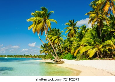 Exotic full of tall palm trees and clear sand beach, Dominican Republic, Caribbean Islands, Central America
