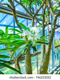 Exotic green cactus plants grow in flower pots in a garden. Spiked peyote cactuses cultivated  outdoor.