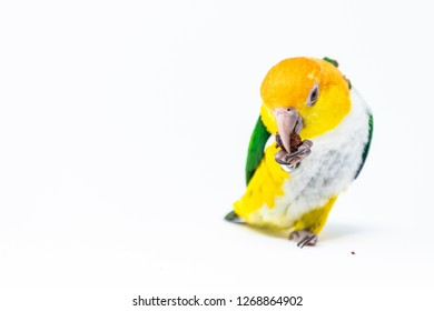 An exotic green and yellow parrot is eating some nut