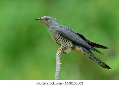 Exotic grey with stripe belly and yellow eye rings proud perching on thin branch in nature, Himalayan cuckoo (Cuculus saturatus)