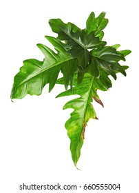 Exotic Hybrid Philodendron leaf, Green leaves of Philodendron isolated on white background, with clipping path