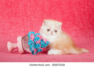 Exotic kitten with large cupcake on cupcake stand on bright pink background