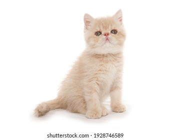 exotic kitten sitting isolated on a white background