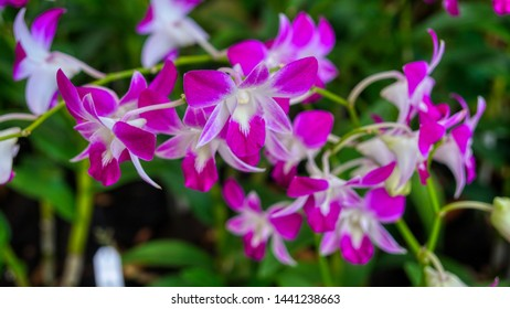 Exotic lilac and white orchid from National Orchid Garden, Singapore