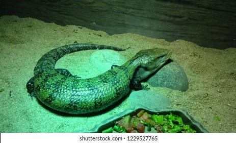 exotic lizard in the zoo