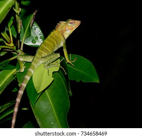 Exotic lizzard from Sri Lanka on bkack background