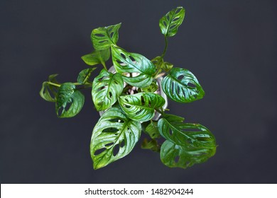 Exotic 'Monstera Adansonii' or Swiss cheese vine house plant in front of dark background