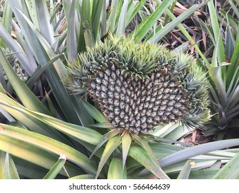 exotic mutation pineapple ,heart-shaped pineapple