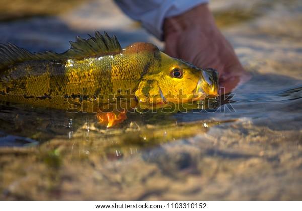 Exotic Peacock Bass Fish