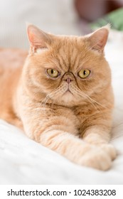 Exotic persian cat looking into camera. Selective focus