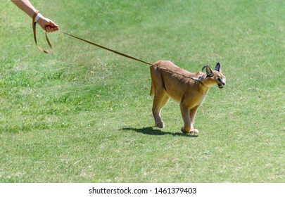 Exotic pet, caracal (Caracal caracal) on a leash,. The caracal is a medium-sized wild cat native to Africa, the Middle East, Central Asia, and India.