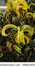 Exotic plant with yellow and green leafs