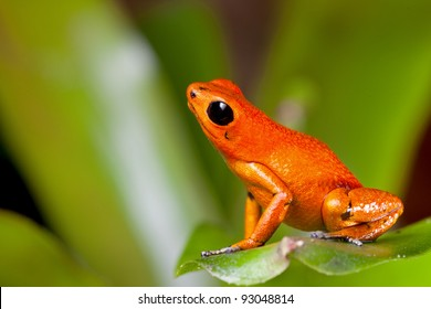 Exotic poison dart frog orange poisonous animal of rain forest panama  terrarium pet tropical exotic herp species of jungle
