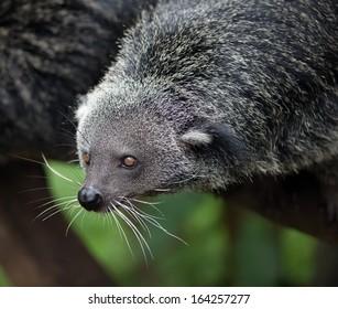 exotic, rare and amusing animal - binturong