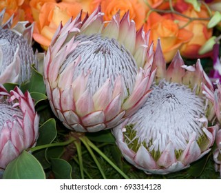 exotic rare hawaii Pink White Protea cynaroides Flower called Giant Protea, King Protea, Honeypot. Its the National flower of South Africa