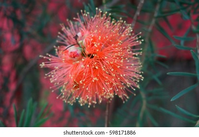 Similar images stock photos vectors of pohutukawa tree flower new exotic red flower with yellow tips close up mightylinksfo