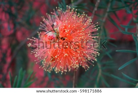Exotic Red Flower Yellow Tips Closeup Stock Photo Edit Now
