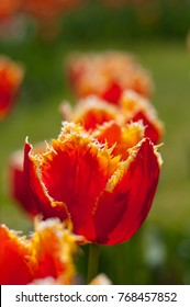 Exotic red tulip is growing in a garden. It has unique form of petals. With blurred background.