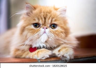 Exotic short hair cat posing