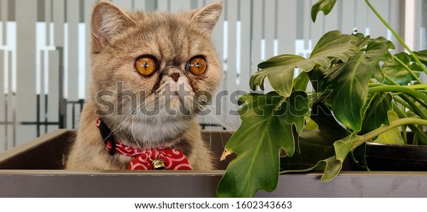 Exotic Short hair Cat with wide eyes sitting on a table next to a plant looking into camera giving grumpy expressions. Looking confused staring beyond the camera