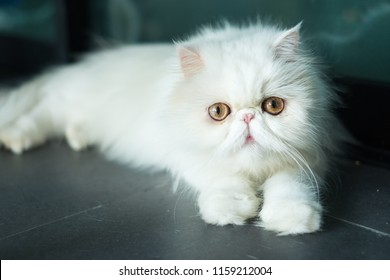 Exotic Shorthair Images, Stock Photos & Vectors | Shutterstock
